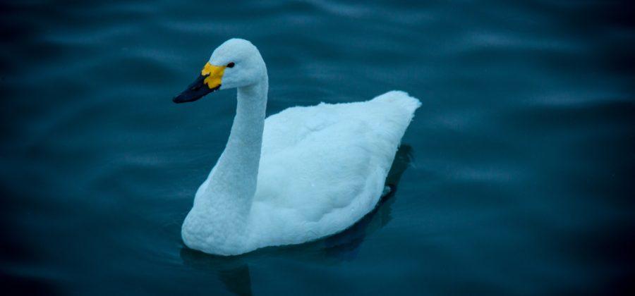 малый (тундряный) лебедь, которых на озере всего два